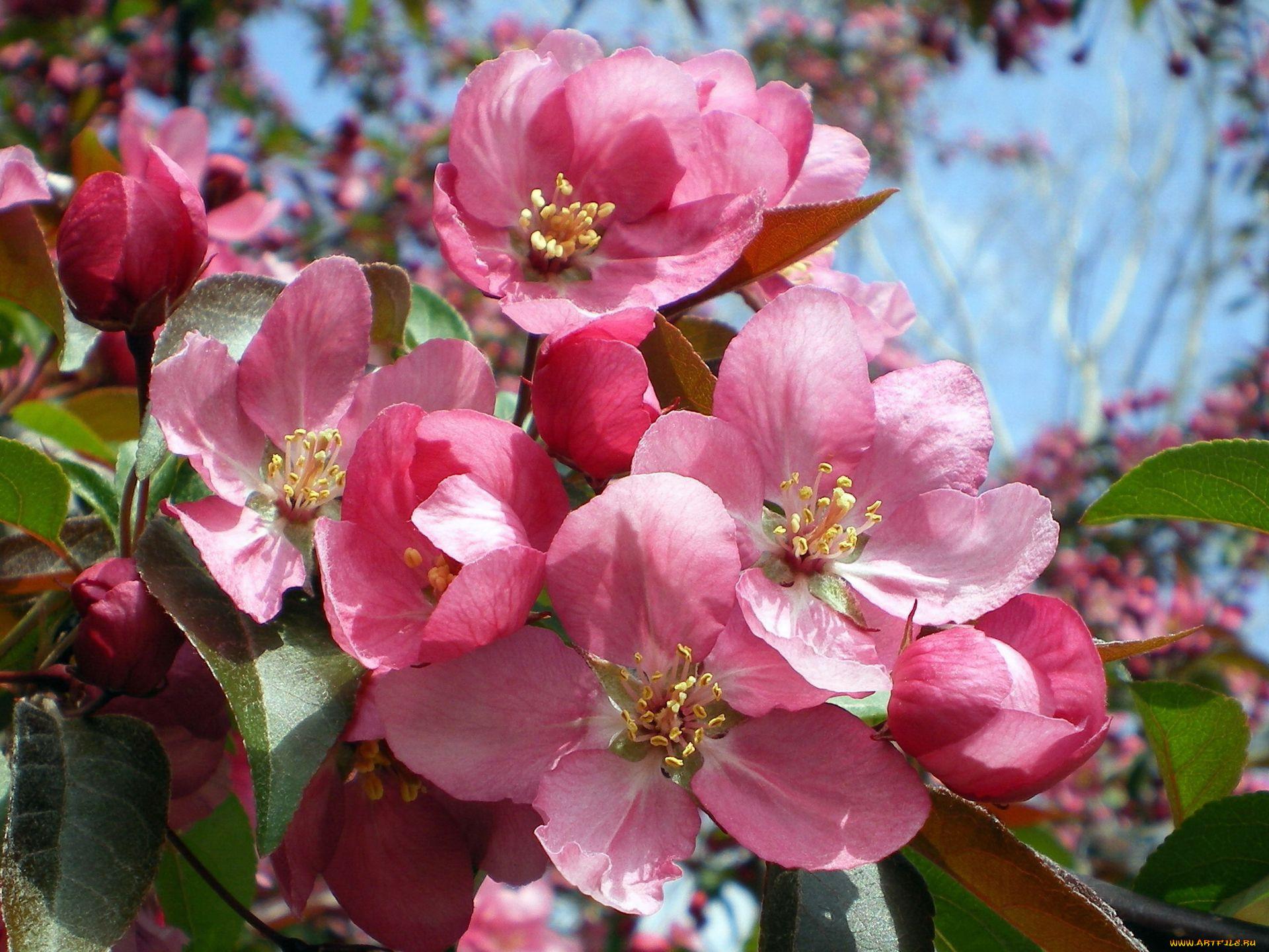 Фото розовых цветов яблони